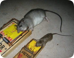 Rat Amp Mouse Control In Fort Lauderdale